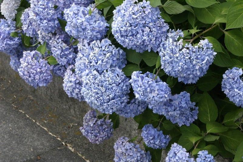 27 Blue Hydrangea Flowers