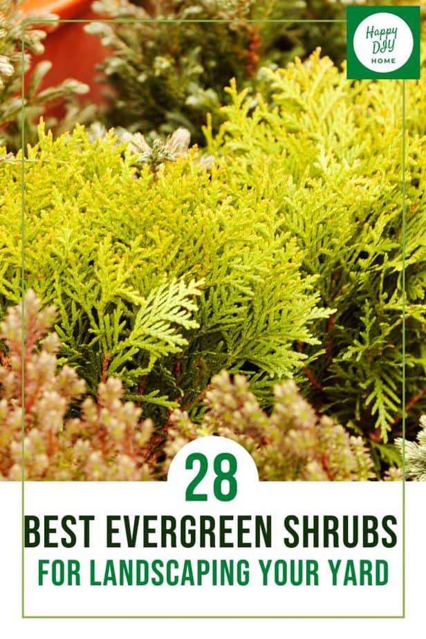 28 Best Evergreen Shrubs 1