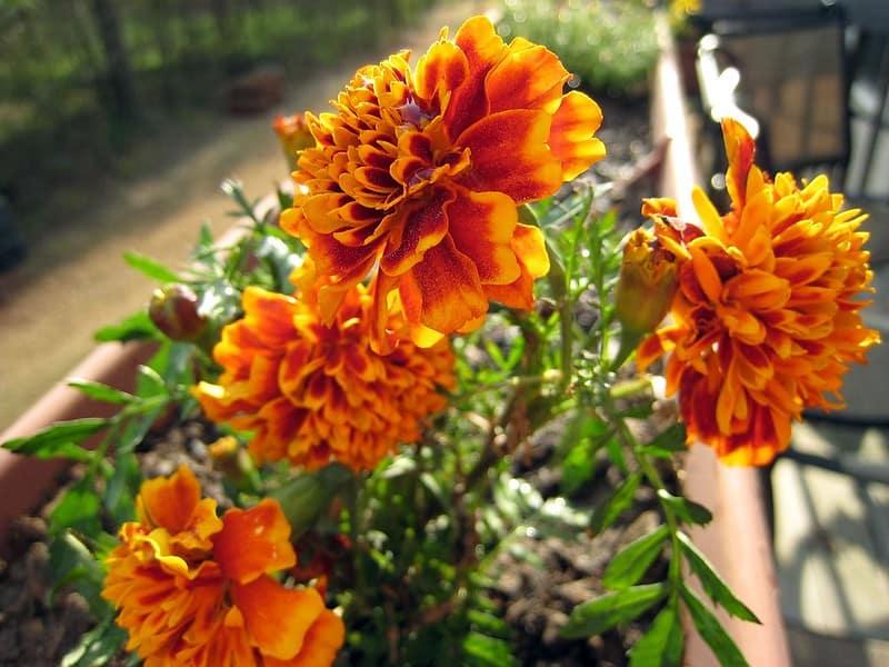 3 Bright Marigolds