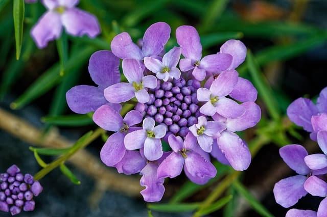 3 Purple Candytuft