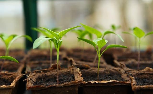 3 Seedlings Peat Pots