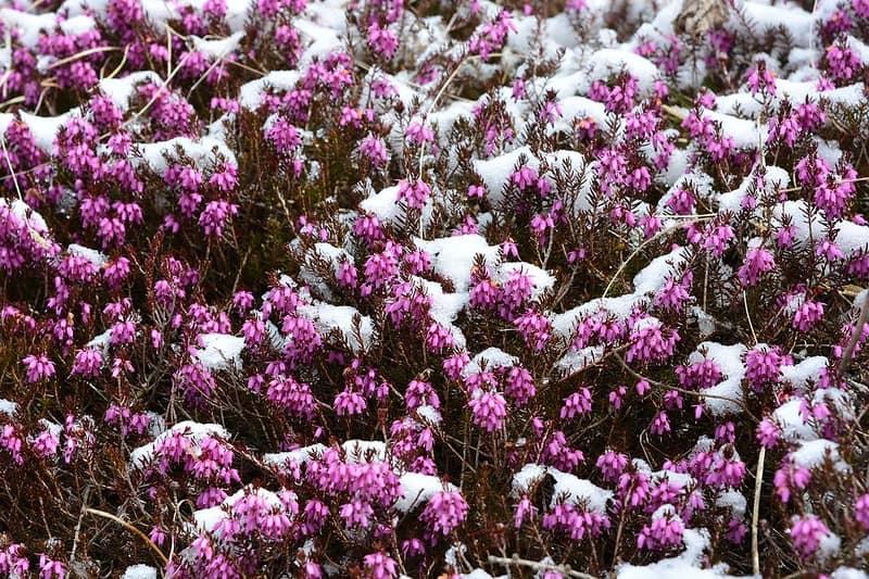 3 Winter Heath Blooms
