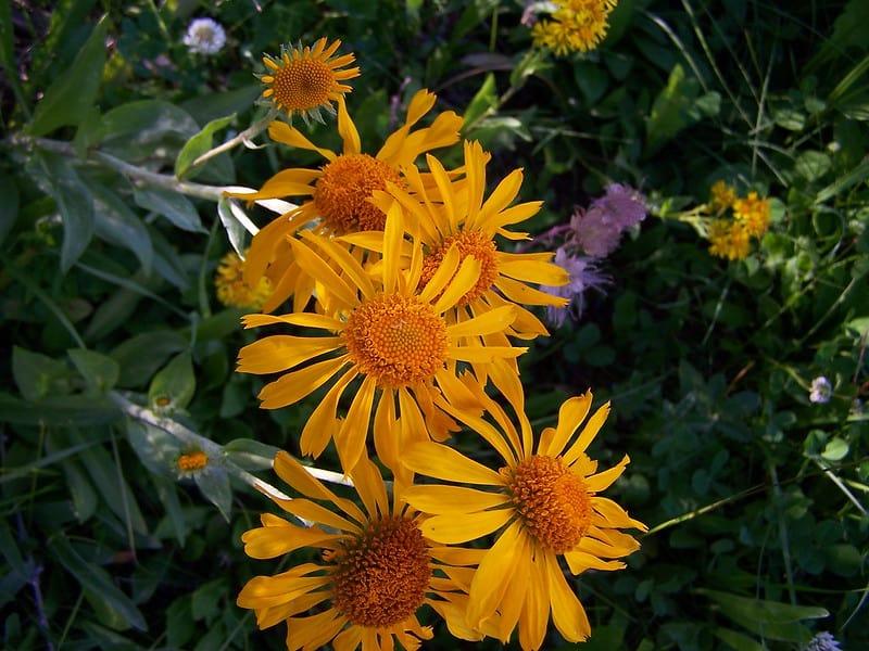 3. Sneezeweed Flowers
