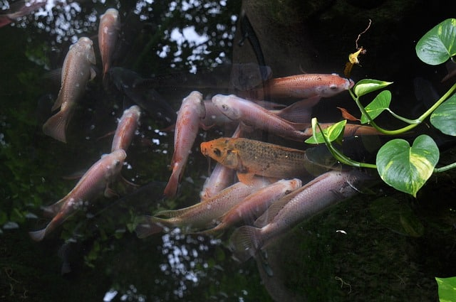 33 Koi for Fish Towers