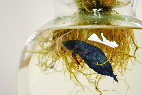 4 Beta Fish Aquaponics