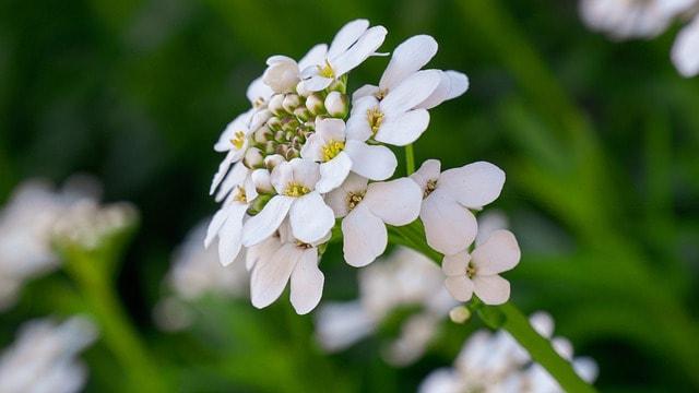4 Candytuft Flower