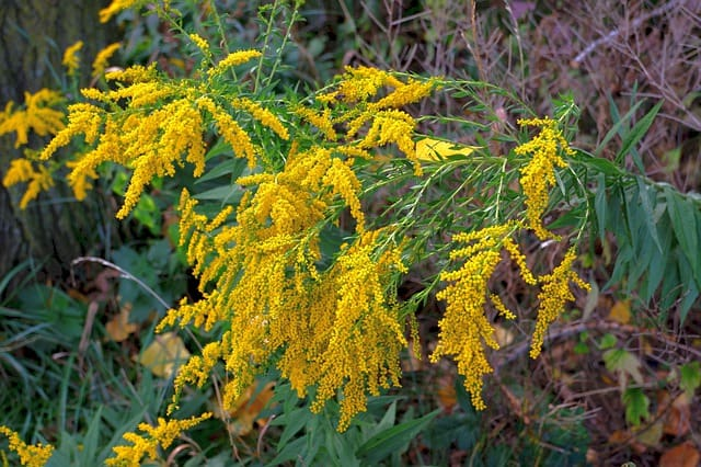 4 Goldenrod Plant