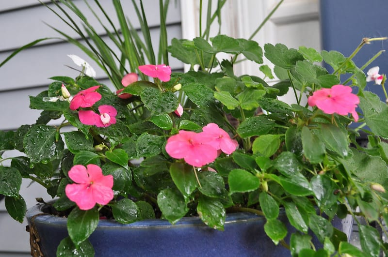 4 Pink Impatiens in Pots