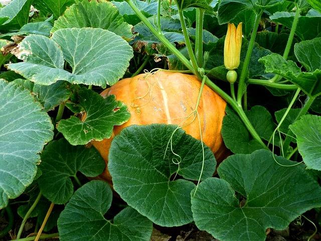 4 Pumpkin Plant