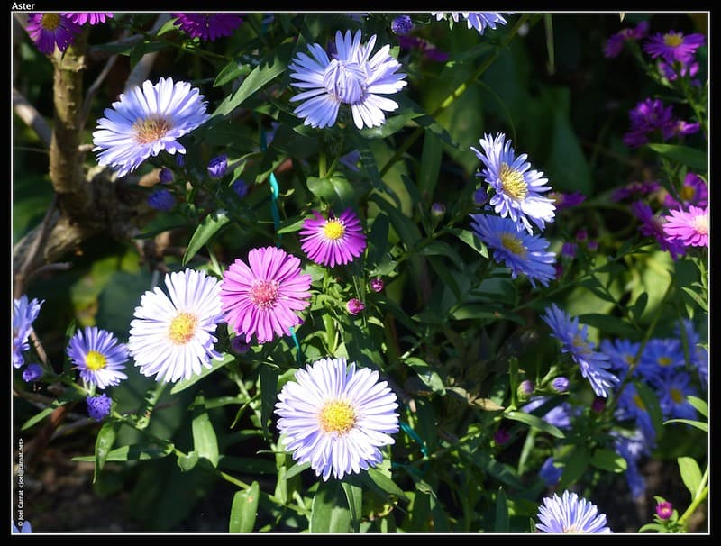 4. Bright Aster Flowers