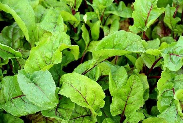 5 Beet Greens