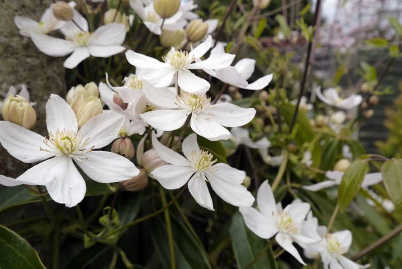 5 Clematis Flowers