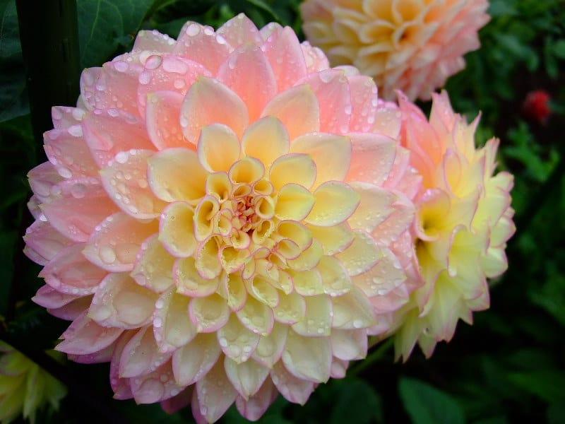 5 Dahlia Flowers