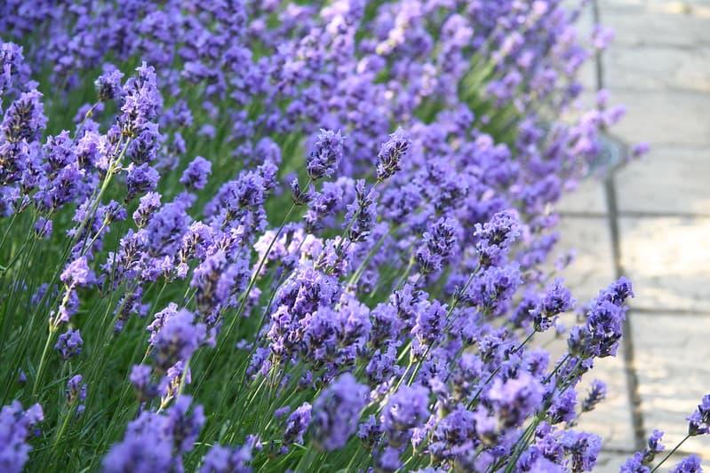 5 Lavender Plant