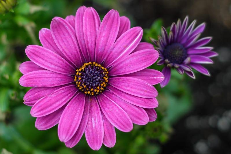 5 Purple Zinnia Flowers