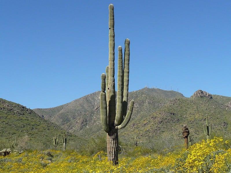 5 Saguaro Cactus Mature