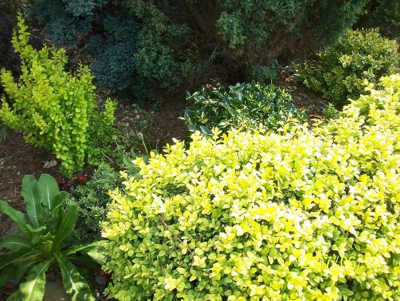 5 Short Golden Euonymus