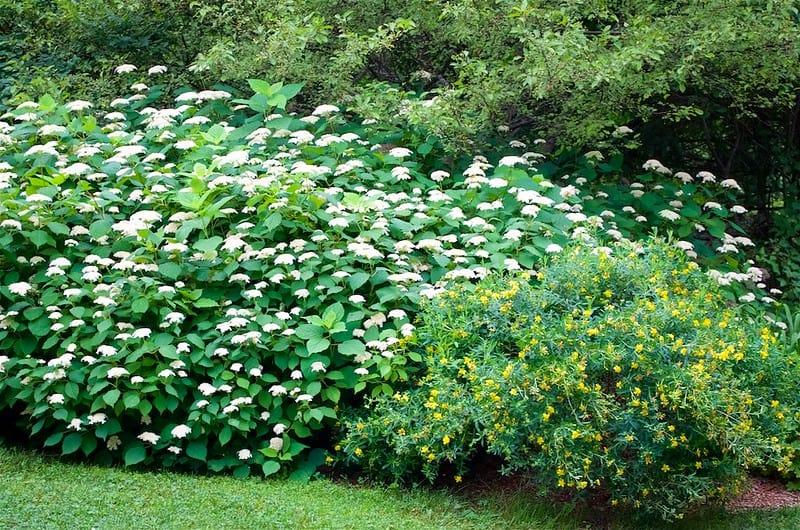 5 Smooth Hydrangea