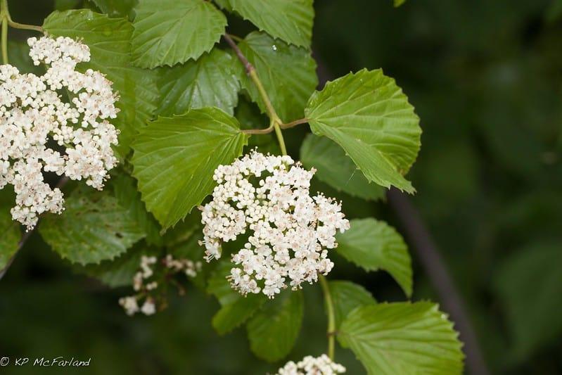 6 Arrowwood with White Flowers