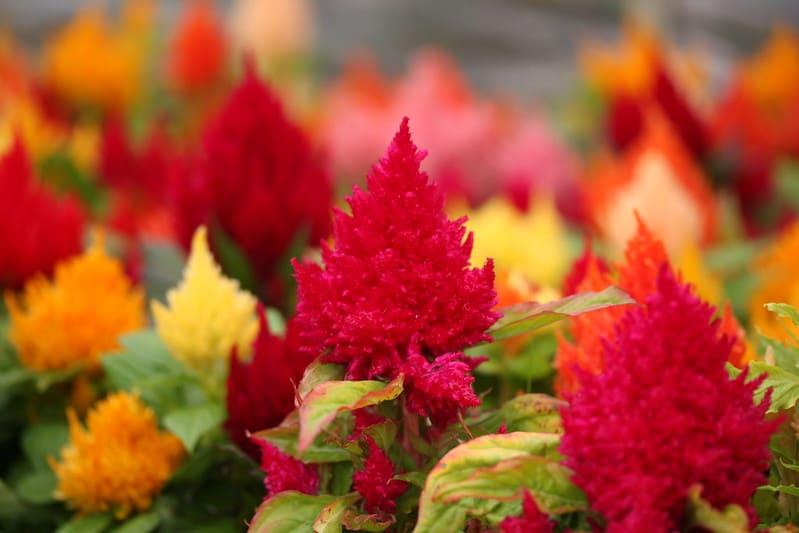6 Celosia Kimino in Different Colors