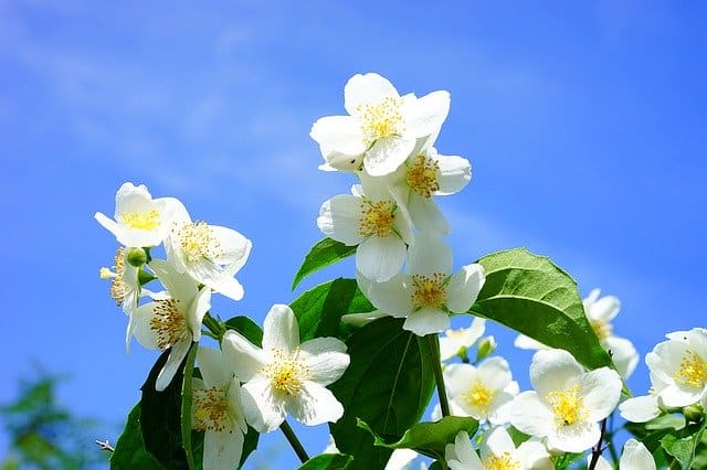 6 Plant your mock orange shrubs in as light a position as possible