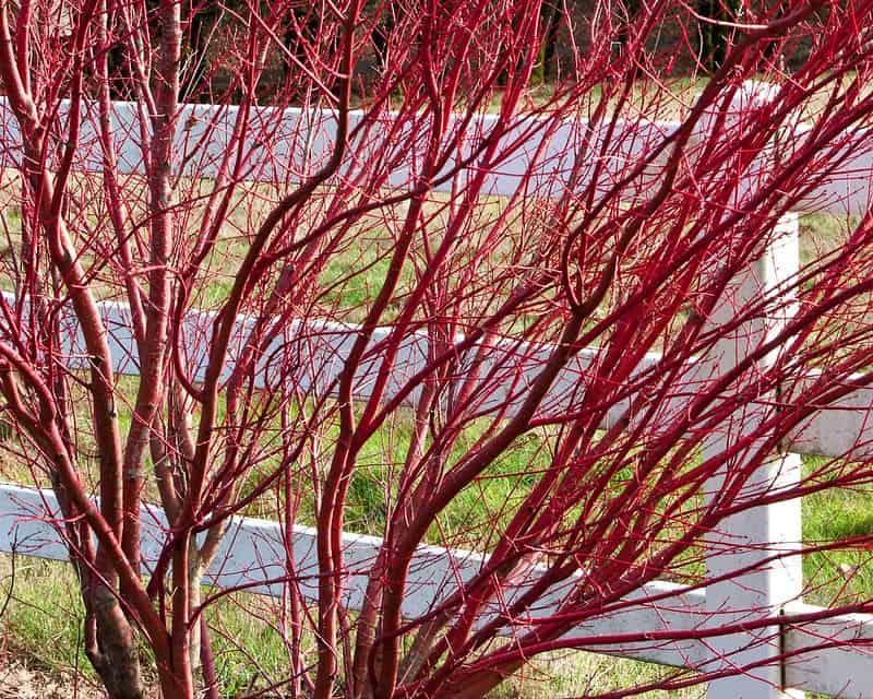 6 Red Twig Dogwood