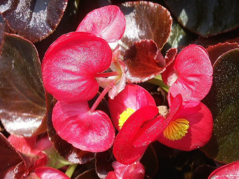 6 Wax Begonia Flowers up Close