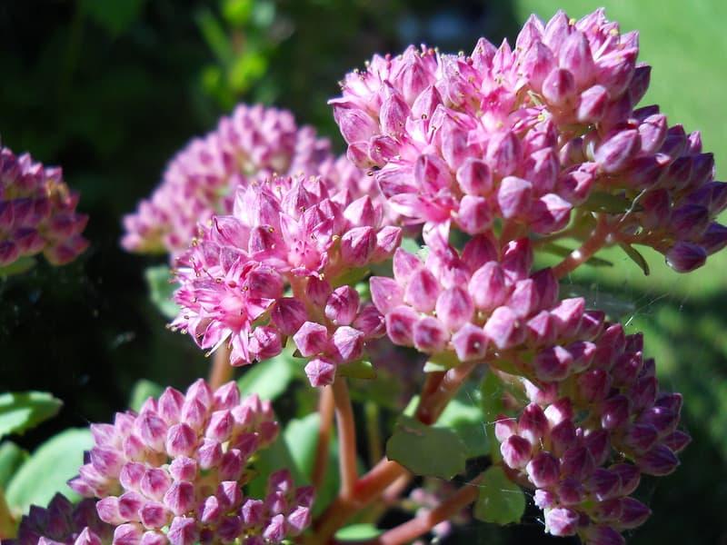 6. Pink Sedum