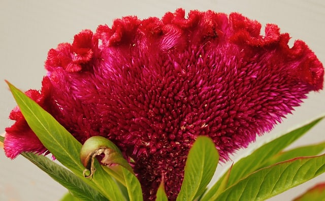 7 An eye catching flower cockscomb is a pleasingly easy to care for plant