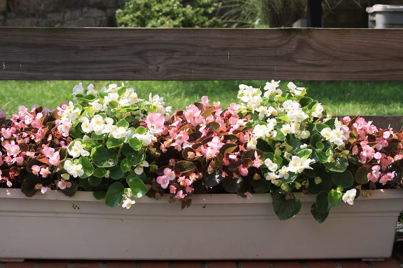 7 Different Colored Begonias