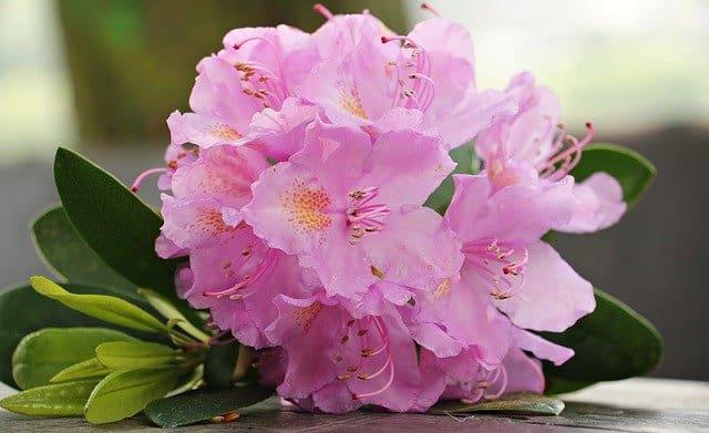 7 Evergreen Azalea Flowers
