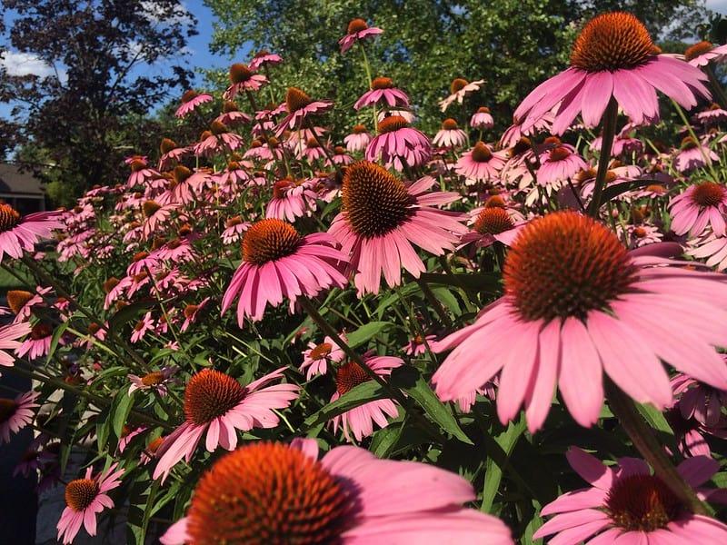 7. Pink Coneflowers