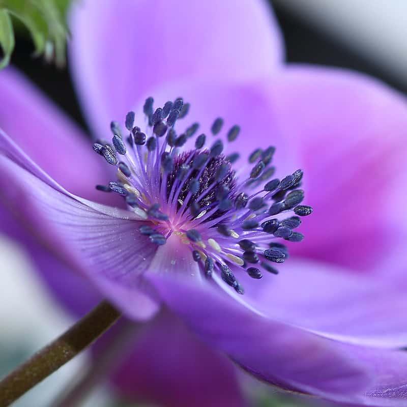 8 Anemone