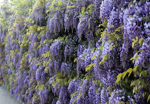 8 Fragrant colorful and easy to care for the wisteria vine is a reliable addition to any garden