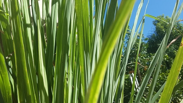 8 Lemon grass is an easy to grow herb that can bring ornamental interest to a garden