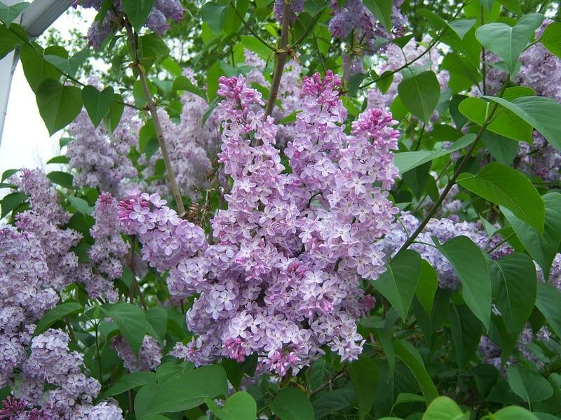 8 Lilacs in Bloom