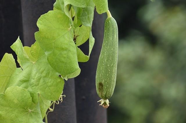 8 Loofah Gourd