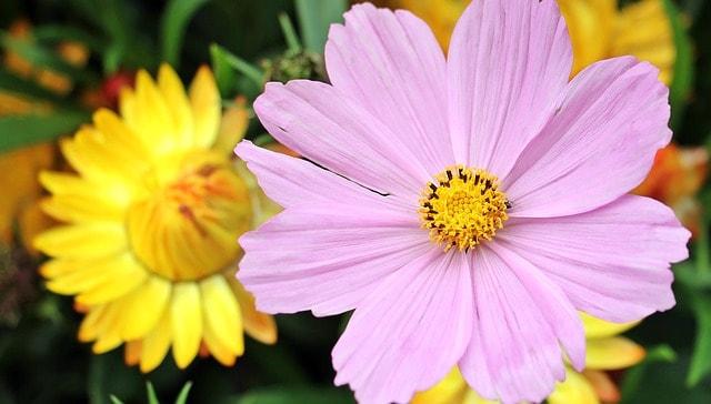 8 Pink Cosmos Closeup