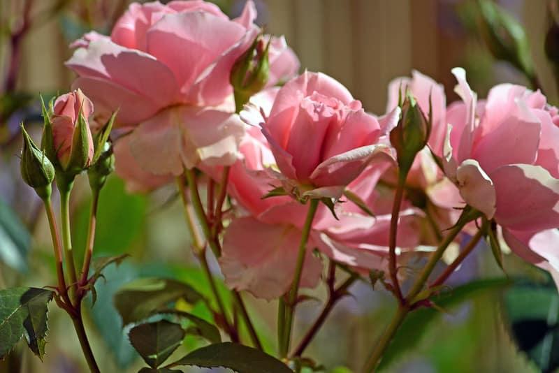 8 Pink Rose Shrubs