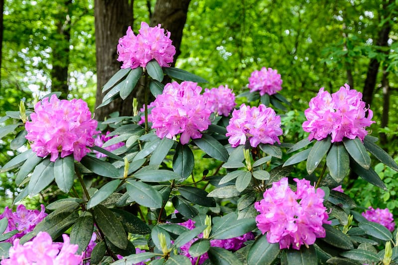 8 Rhondodendrons