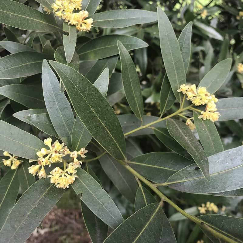 9 Bay Laurel Flowers