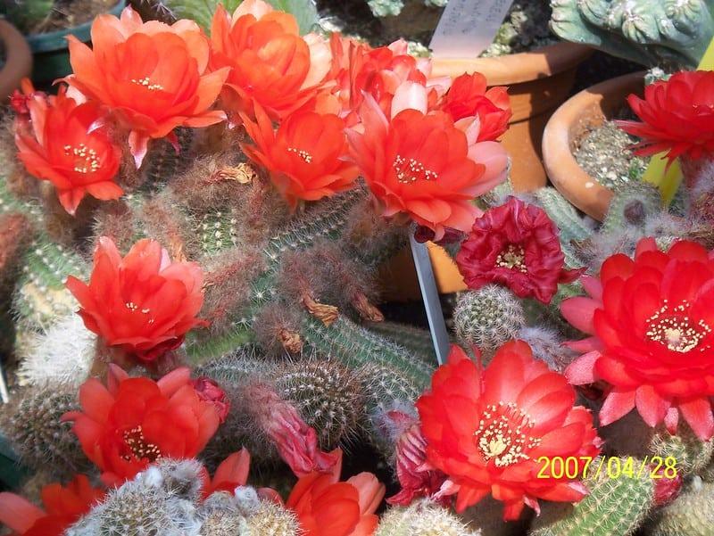 9 Peanut Cactus