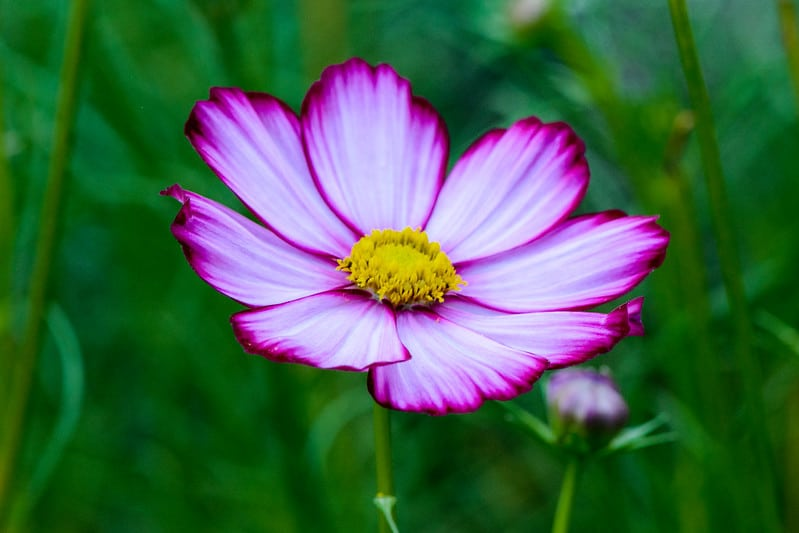9 Pink Cosmo Bloom