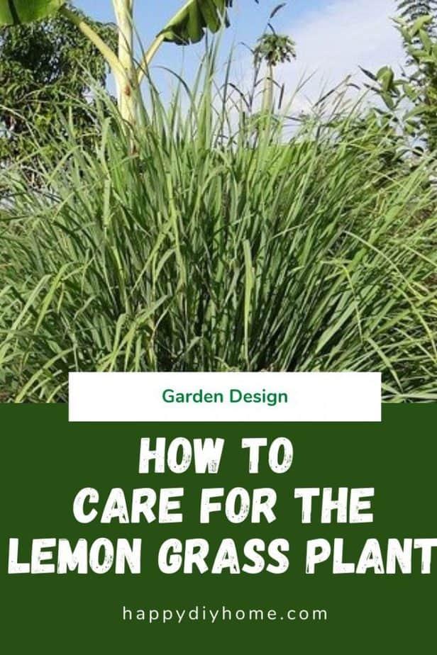 Lemon Grass Plant 1