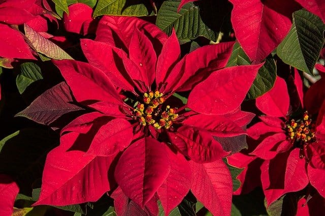 1 A popular winter flower the Christmas Star is not just an annual plant