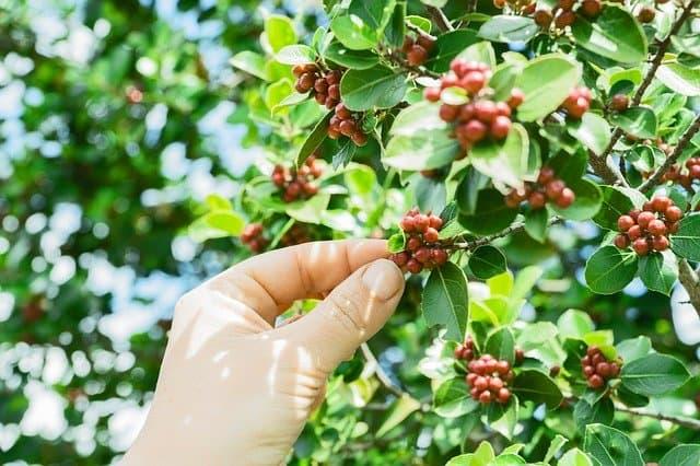 1 Coffea arabica is an increasingly popular houseplant
