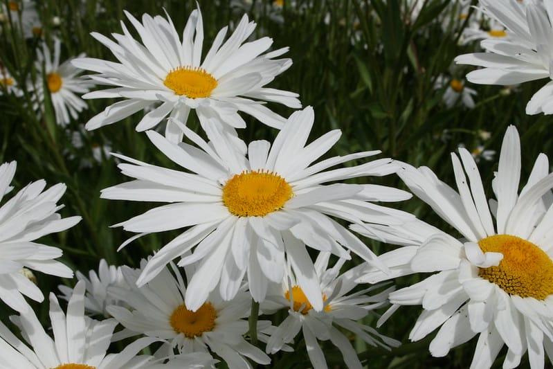 1 English Daisy
