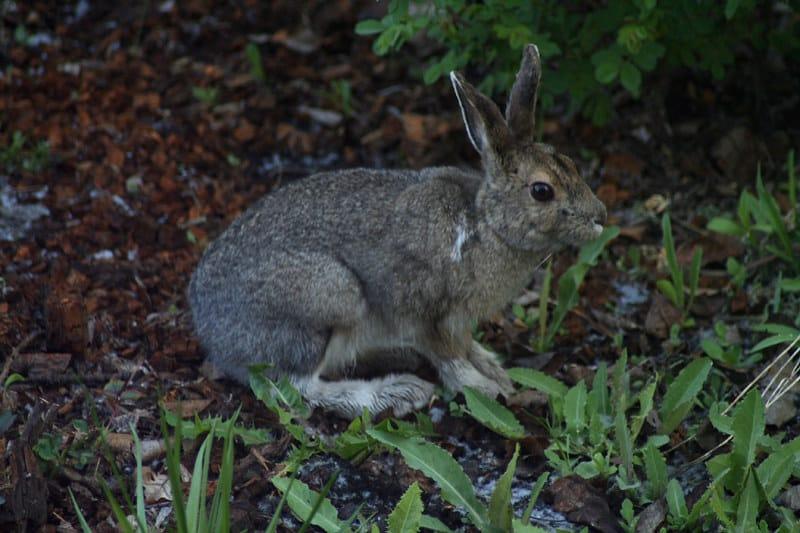 1 Rabbit in Yard