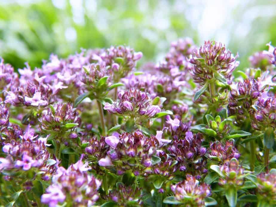 1 Thyme Flowering