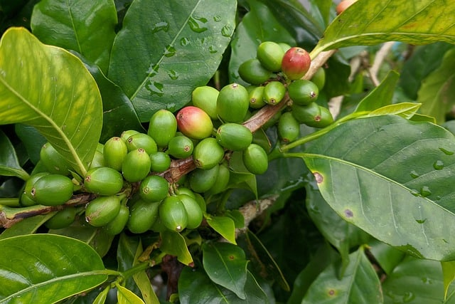 10 Attractive reliable and surprisingly easy to care for it is easy to see why the coffee plant is growing in popularity amongst houseplant lovers
